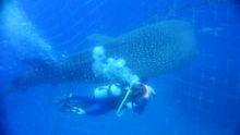 ジンベエザメと泳ぐ!
