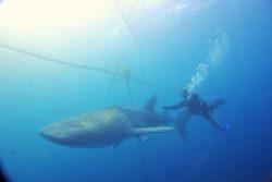 世界最大!ジンベエザメ