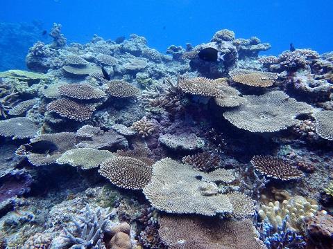 神山 浅場のサンゴ