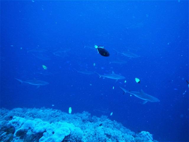 シアスコーナーのサメの群れ