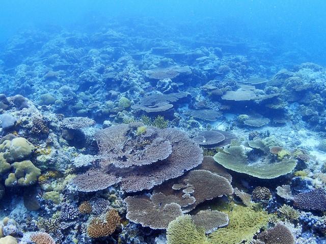 珊瑚が元気なんです
