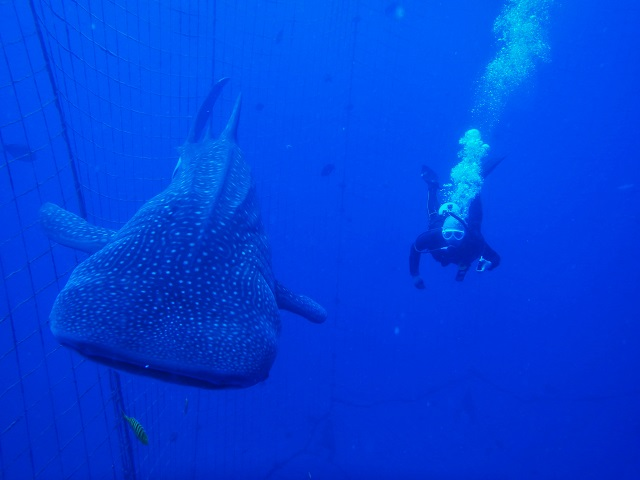 ジンベエザメと泳ごう