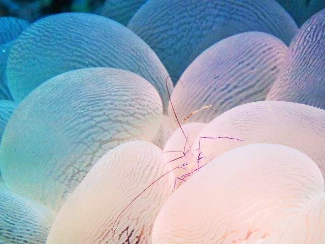 マクロダイブ バブルコーラルシュリンプ