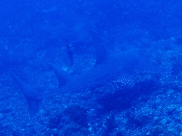 沖縄慶良間トンガリサカタザメ