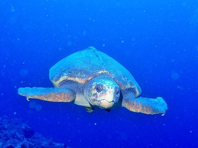 運瀬の巨大アカウミガメ 沖縄 | ファンダイビング | 慶良間