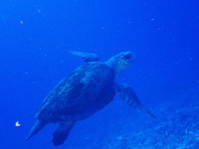 アカウミガメってガメラみたいな顔ですね。慶良間諸島