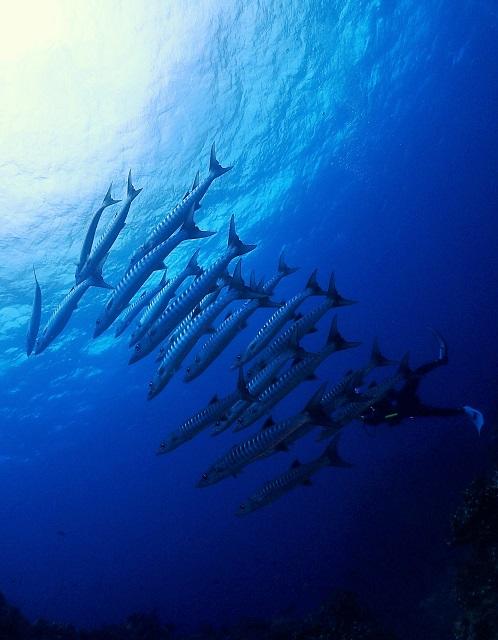 ブラックフィンバラクーダ群れ