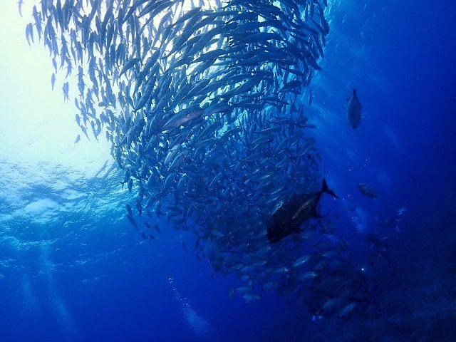 粟国遠征ダイビング ギンガメアジ群れ