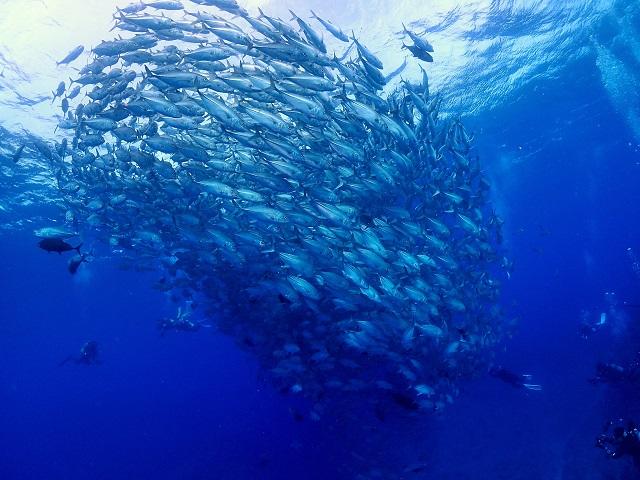 粟国島遠征ダイビング ギンガメアジの群れ