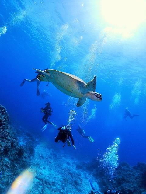 沖縄ダイビングアオウミガメ