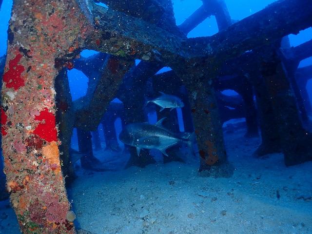 ロウニンアジ漁礁