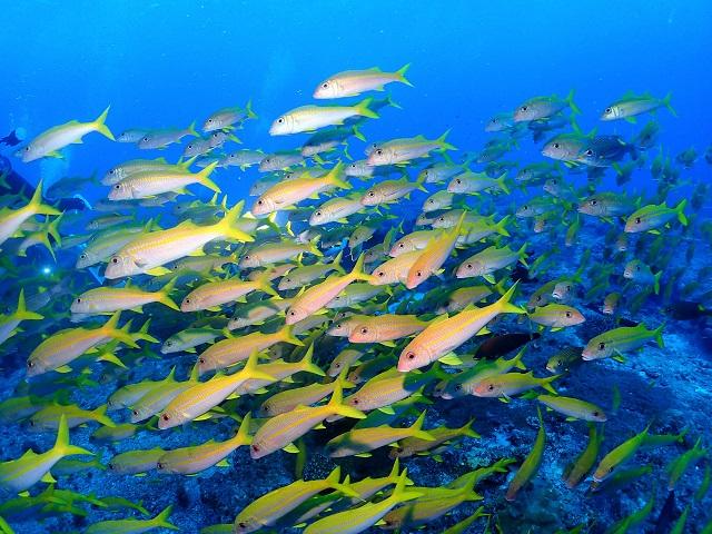 光モノ大好物だけど、黄色いお魚も好きなんですよ~