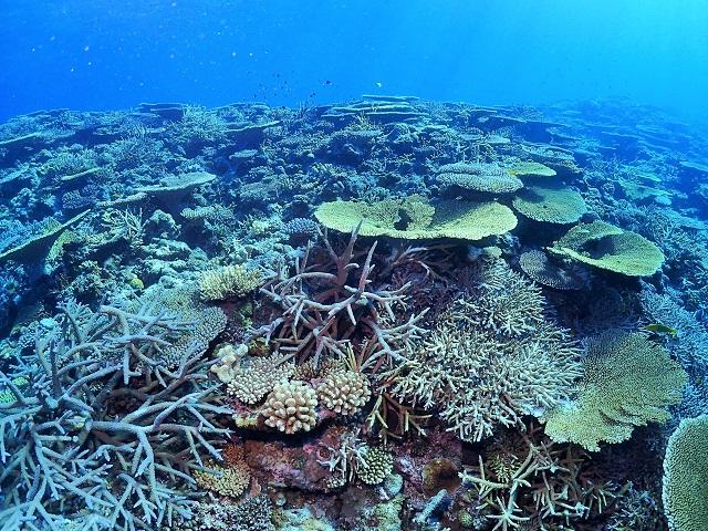 沖縄渡嘉敷サンゴ