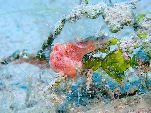 カエルアンコウ 三種盛り 慶良間座間味島