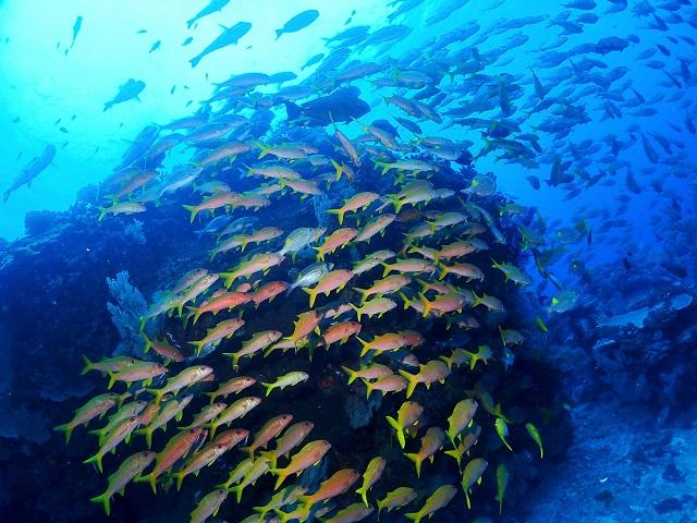 沖縄ダイビング群れ