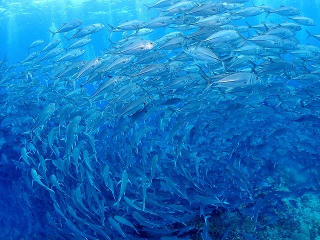 沖縄大物ダイビング