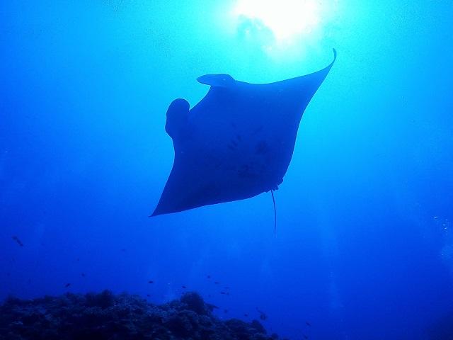 ウチザン礁マンタ