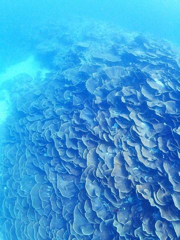 ヨコミゾスリバチサンゴ