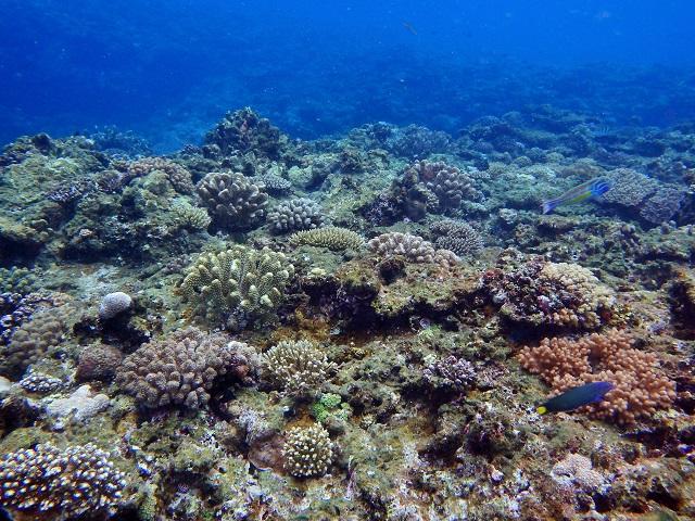 ナガンヌの浅場珊瑚