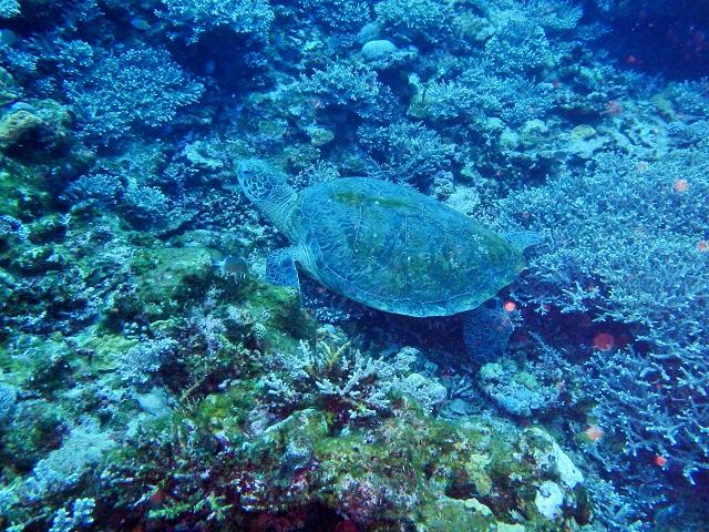 アオウミガメ 沖縄