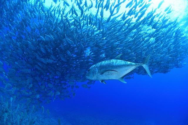 ロウニンアジ付き ギンガメ