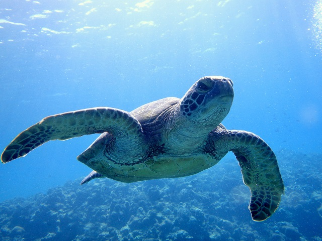 沖縄ウミガメ