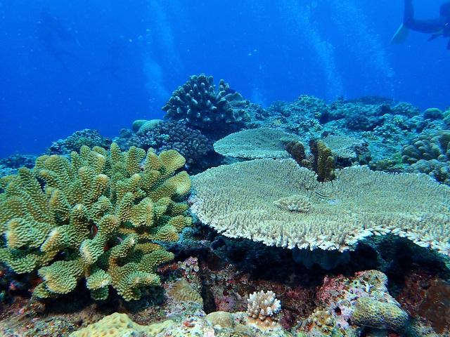 浅場のサンゴ