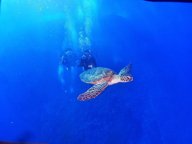 慶良間ダイビングアオウミガメ