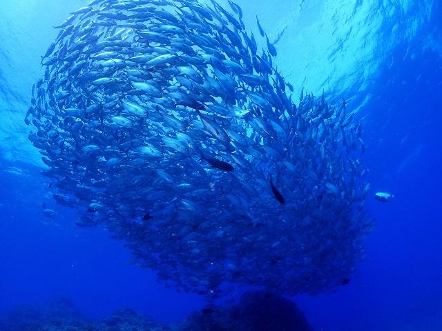 粟国島ギンガメアジの群れ