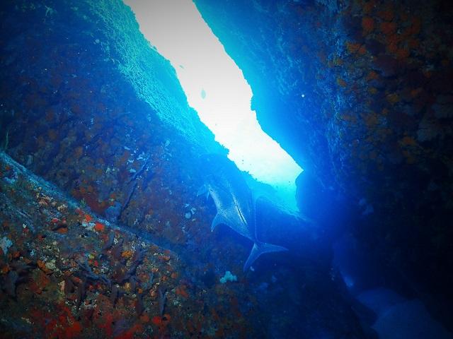 ウチザン礁ロウニンアジ