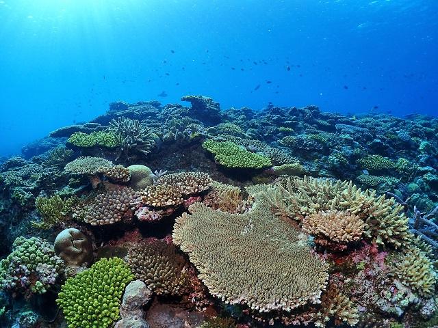 沖縄サンゴの群生