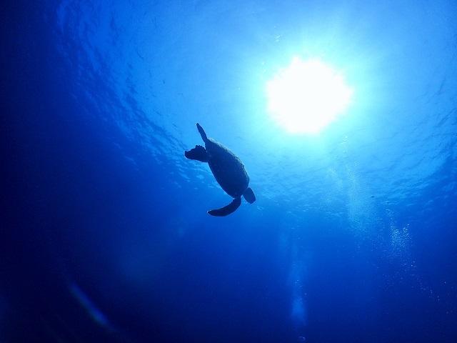 水中写真アオウミガメ
