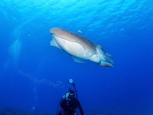 クマドリカエルアンコウが可愛すぎて、、、万座ダイビング