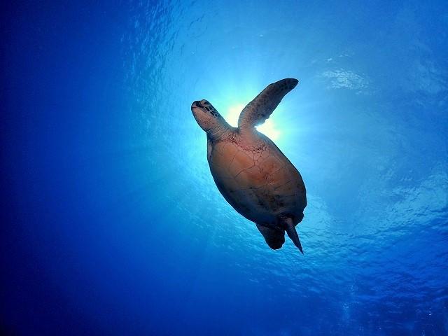 沖縄アオウミガメ